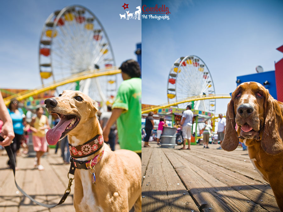 santa monica pet photography
