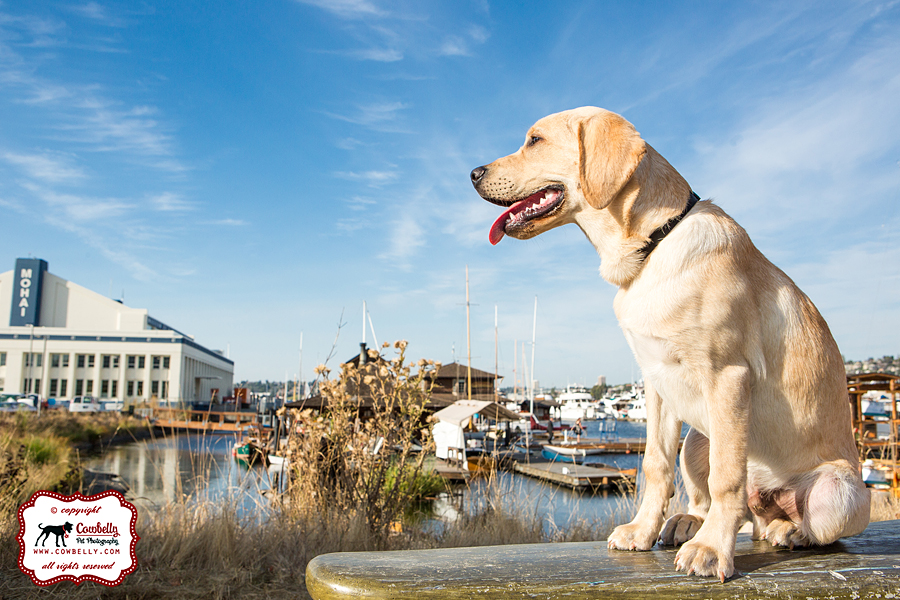 Yellow lab puppy in front of blue sky and marina