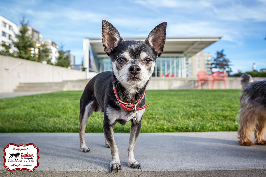Jack the seattle chihuahua with a big nose toward the camera