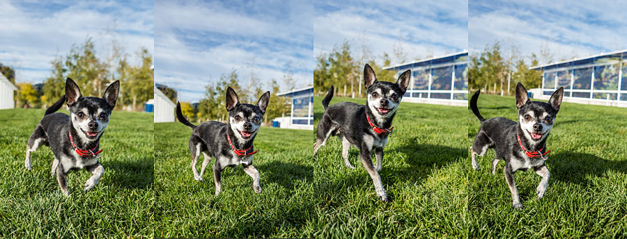 Jack the smiling Seattle chihuahua running through grass